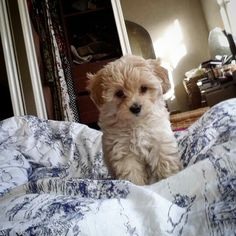 Dolly Alton  #maltipoo #puppy