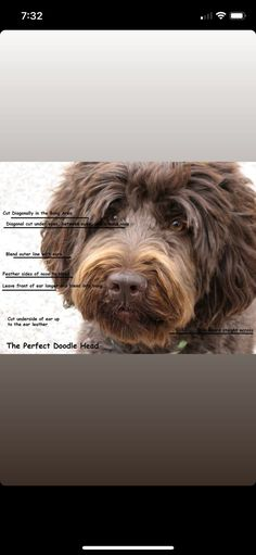 Labradoodle, Puppys, Bear, Dogs, Cubs, Pet Dogs, Puppies, Bears, Doggies