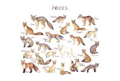 This watercolor painting features foxes from around the world as a field guide classification chart. It features the following foxes: Arctic Fox