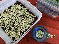 Guide: Odla ärtskott inomhus i smart låda - Sara Bäckmo Growing Snow Peas, Growing Lettuce, Inside Garden, Soil Layers, Cabbage Leaves, Grow Lights, Garden Inspiration, Sprouts, Farmer