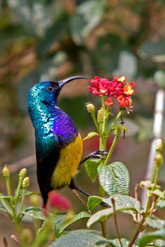 Variable Sunbird, Cinnyris ven-ustus: equatorial Africa