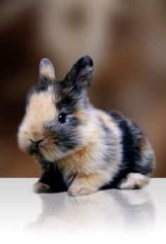 Calico bunny Cute Creatures, Beautiful Creatures, Animals Beautiful, Cute Baby Animals, Animals And Pets, Farm Animals, Dwarf Bunnies, Cute Bunny, Tiny Bunny