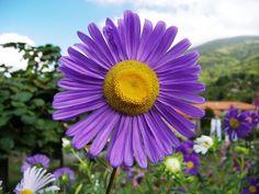 Gambar Bunga Aster Alpinus
