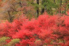 Autumnal leaves  紅葉 富士霊園
