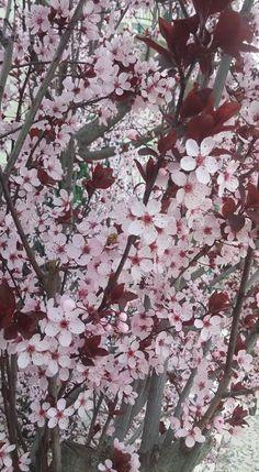 Слива писсарди  Prunus cerasifera var. pissardii