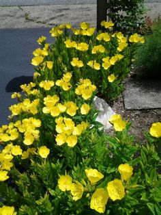 Evening Primrose, magical flower which only opens at dusk. This beauty is so fun to watch at my house, and any gardener would agree. Flax Flowers, Wild Flowers, Evening Primrose Flower, Front Flower Beds, Front Yard Garden Design, Flannel Flower, Garden Landscaping, Landscaping Ideas, Cut Flower Garden
