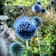 We grow them pretty at le coeur sauvage hq. Echinops for this years wedding are all home grown