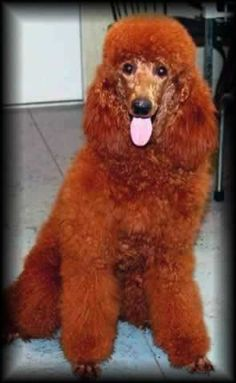 Yes, getting one one day :-) Red Standard Poodle. my fave, along with Labradoodles Red Poodles, Pretty Redhead, Poodle Cuts, Service Dogs, Big Dogs, Mans Best Friend, Puppy Love, Redheads, Dog Breeds