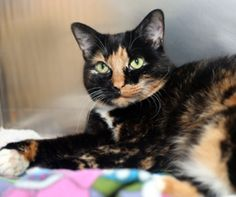 Spunky is a sweet, gorgeous older lady who loves to be a lap cat and a door greeter. Meet her today!