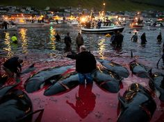 Faroe Island Whaling, a 1,000-Year Tradition, Comes Under Renewed Fire
