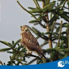 Einige Vogelfreunde haben uns gemeldet dass sie in diesem #Winter wohl öfter #Mäusebussarde sehen als noch in den letzten Jahren. Gute Nachrichten!  Was meint ihr könnt ihr das bestätigen oder eher nicht?  #mäusebussard #bussard #buteobuteo #commonbuzzard #buzzard #greifvogel #greifvögel #raptor #vogel #vögel #bird #birds #birdwatching #natur #nature #naturschutz #birdsofinstagram #instabirds #instabird #bayern #bavaria #wildlifephotography