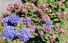 Ceanothus 'Dark Star'. While flower colors may be occasionally be white or pink, Ceanothus has achieved its place as a gardener's prize due to the 'true blue' color of its masses of showy blossoms. From frosty light blue to breathtaking cobalt and indigo, the flowers are stunning against the backdrop of glossy green leaves and plum-toned buds as they bloom out each spring (March – May or longer, depending on cultivar.)