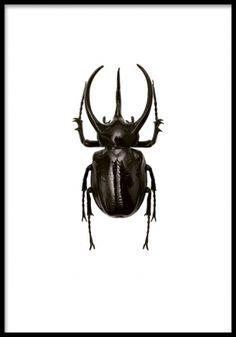 Black Beetle, poster. Snygg poster med insekt. Tavla med insekt som passar utmärkt i en nätt svart ram. Insektstavlor är något vi ser mycket av och som hittar många fler av i vårt kategori Insekter och djur.