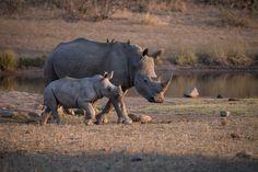 Los rinocerontes bebés nacen sin cuerno así que dependen completamente de su madre para que los proteja...