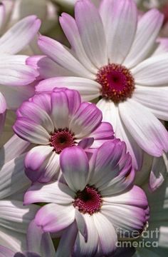Blushing Daisies, Flowers Garden Love