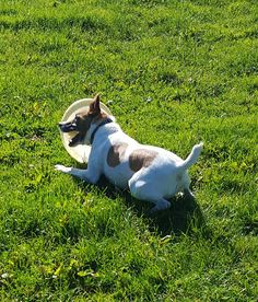 JACK RUSSELL TERRIER Jess was delighted with the frisbee she found today. If you are an active, terrier-savvy, adults only home, maybe Jess could bring her frisbee to play in your garden? Jack Russell Terrier, Boston Terrier, Corgi, Bring It On, Play, Garden, Animals, Boston Terriers, Corgis