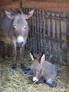 Foto di famiglia: mamma asino controlla e protegge il figlio asino che presto…