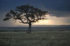 my favorite trees! Acacia tortilis!