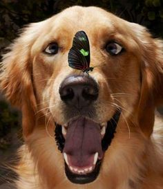 A funny golden retriever staring at a butterfly on her nose. These two animals are having a moment together =) I hope the golden retriever doesn't stay crossed eyed forever! Cute Puppies, Cute Dogs, Dogs And Puppies, Doggies, Funny Dogs, Funny Animals, Cute Animals, Funniest Animals, Animals Dog