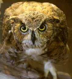 Serious eye contact with a great horned owl! by Sandy Scott on 500px