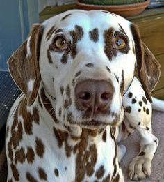 Dalmatian with chocolate spots--liver Even dogs have STOTS Cute Small Animals, Animals And Pets, Baby Animals, Cute Puppies, Cute Dogs, Dogs And Puppies, Doggies, Big Dogs, I Love Dogs