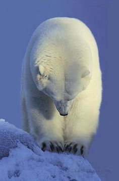 Bashful Polar Bear!