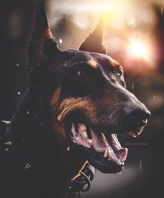 Doberman @ericxcharlesx
