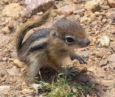 Tiny chipmunk.