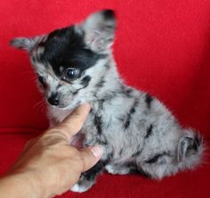 Isn't this merle colored chichihua gorgeous.