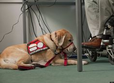 Service Dog Facts: Things You Didn't Know (But Should Know) About Service Dogs. Everyone should read Rescue Dogs, Animal Rescue, Pet Dogs, Dogs And Puppies, Doggies, Military Working Dogs, Military Dogs, Service Dog Training, Service Dogs