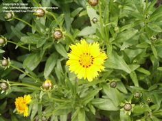 Lanceleaf Coreopsis, Coreopsis lanceolata. Grows 1.5' in height. Full Sun/Part Shade. Native to Indiana.