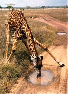 Giraffe drinking water from a puddle, Arusha, Tanzania Arusha, Beautiful Creatures, Animals Beautiful, Tier Zoo, Funny Animals, Cute Animals, African Animals, African Safari, Nature Animals