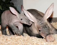 A baby aardvark cuddles up to its mother Jessi at Brookfield Zoo, Chicago