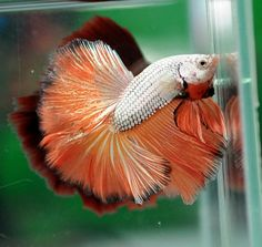 AquaBid.com - Item # fwbettashm1387195802 - ORANGE DRAGON # 3932 - Ends: Mon Dec 16 2013 - 06:10:02 AM CDT