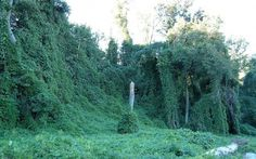 Kudzu Can Grow Up To a Foot a Day!