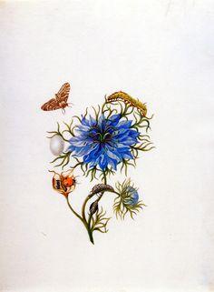 Merian Maria Sibylla Caterpillar in change Sun