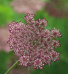 this flower was my first venture into God's heart. he taught me about his intricacies and his infinite designs! now i found one in black! i am blown away!!!!!!!!!!!!!!!!!!! Queen Anne's Lace 'Black Knight' (Daucus carota)