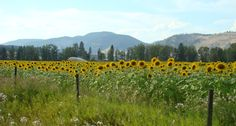 Sunflower field,Lavington,Vernon bc,Canada Taken by,Tanya L Gordon -- Curated by: Ultimate Social Club Vernon Bc, Sunflower Fields, Social Club, Silver Stars, British Columbia, Beautiful Places, Canada, Touch, Live