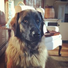 """""""Baby Girl Mira Grown Up"""" #leonberger #dogs"""