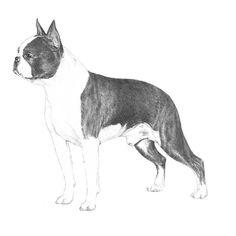 Boston Terrier Dog Breed Information - American Kennel Club