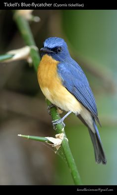 Tickell's Blue-flycatcher (Cyornis tickelliae) Friendly flycatcher