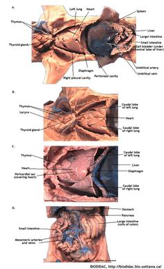 Small Intestine and Spleen | Pig Dissection | Pinterest