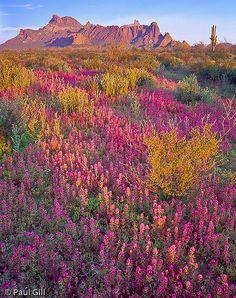 First light on purple owls clover wildflowers, Eagletail Mountains Wilderness, Arizona
