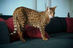 Looking for some large domestic cat for your home? here are 13 large cat breeds that you might like