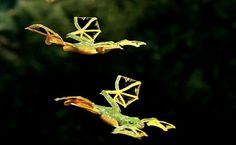 Flying Frog | See More Pictures | #SeeMorePictures