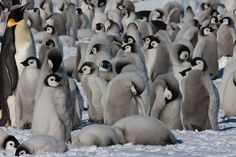 Emperor penguins | Emperor penguins | Exodus Travels | Flickr