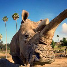 Random Animals: Northern White Rhino Faces Extinction