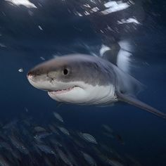 """""""Photo by @BrianSkerry A Great White Shark swims just below the surface in the…"""
