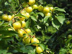 La confiture allégée de MIRABELLES des moines trappistes de Sept-Fons a été préparée avec 65 g de fruits pour 100 g de confiture et avec 30% de sucre en moins. Pot de 350 g. Ingrédients : mirabelles, sucre de canne, gélifiant : pectine, acidifiant : jus de citron concentré.