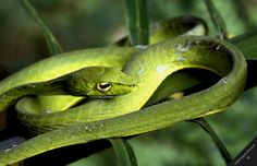 Rainforest++snakes | nouragues natural forest reserve nature reptiles snakes green snake ...